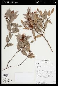Gaultheria gracilis image