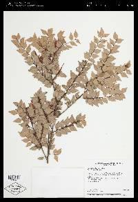 Gonocalyx almedae image