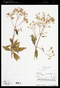 Tibouchina inopinata image