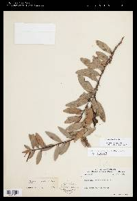 Macleania insignis image