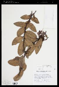 Macleania rupestris image