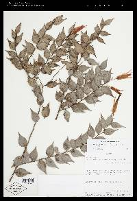 Orthaea panamensis image