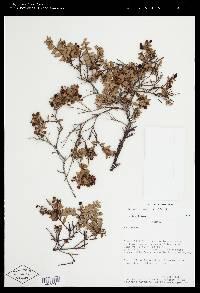 Pernettya prostrata image