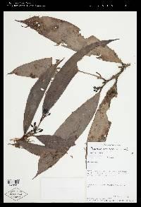 Psammisia panamensis image