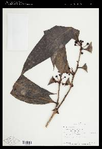 Image of Psammisia panamensis