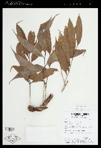 Psammisia ramiflora image