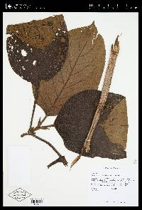 Glossoloma panamense image