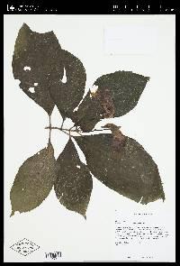 Gasteranthus delphinioides image