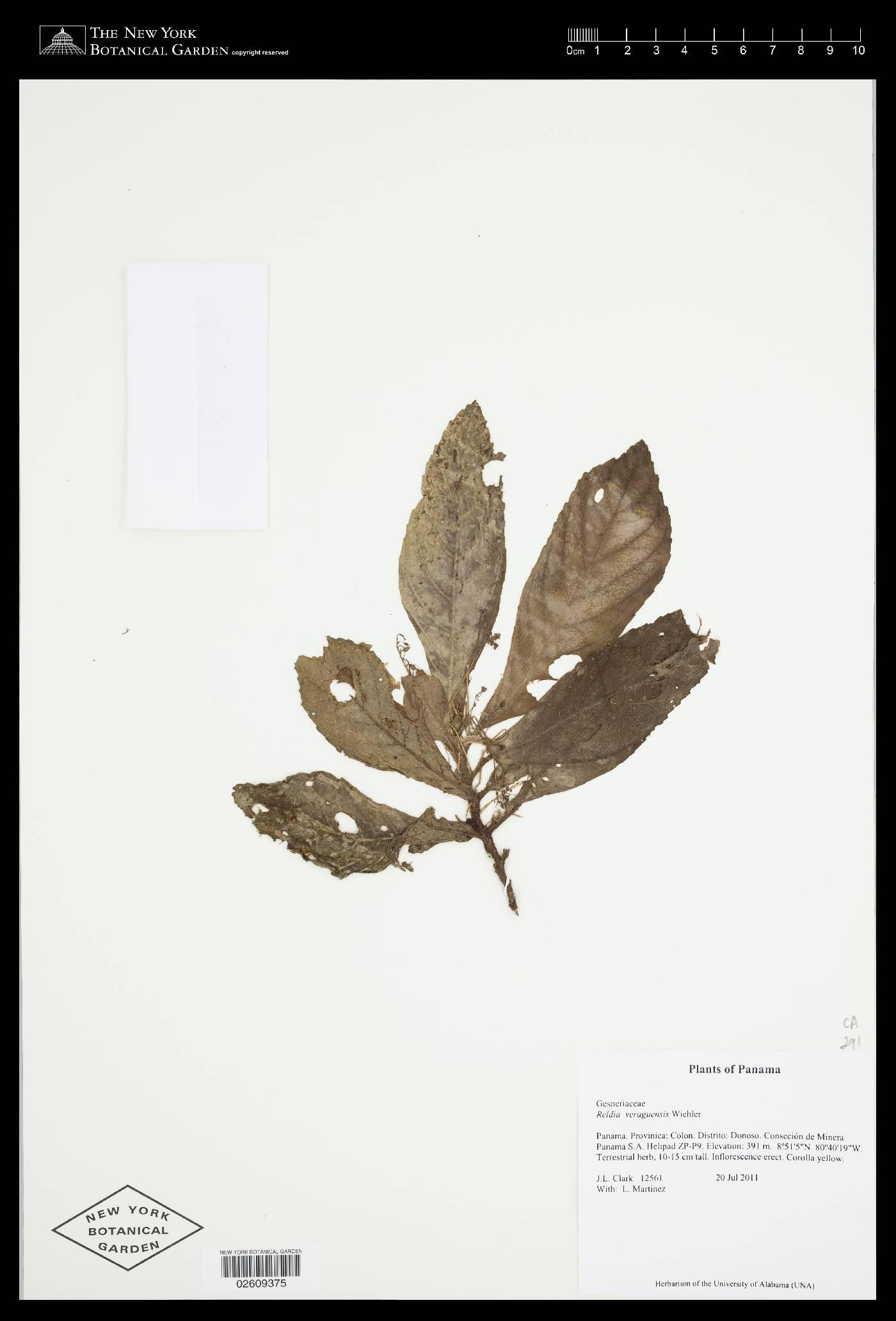 Reldia minutiflora image