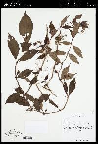 Drymonia multiflora image