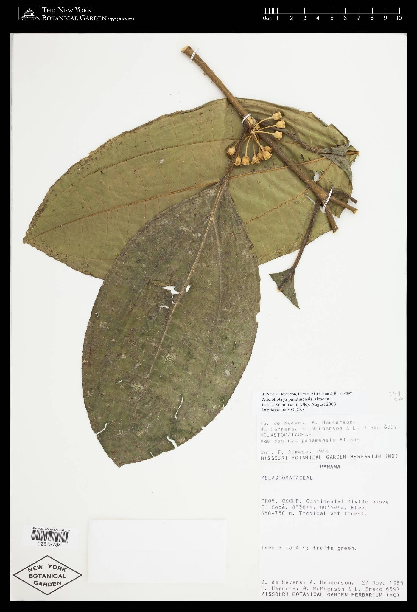 Adelobotrys panamensis image