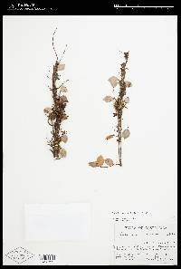 Sphyrospermum dissimile image