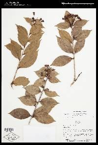 Vaccinium floccosum image