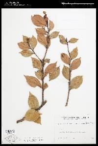 Vaccinium poasanum image