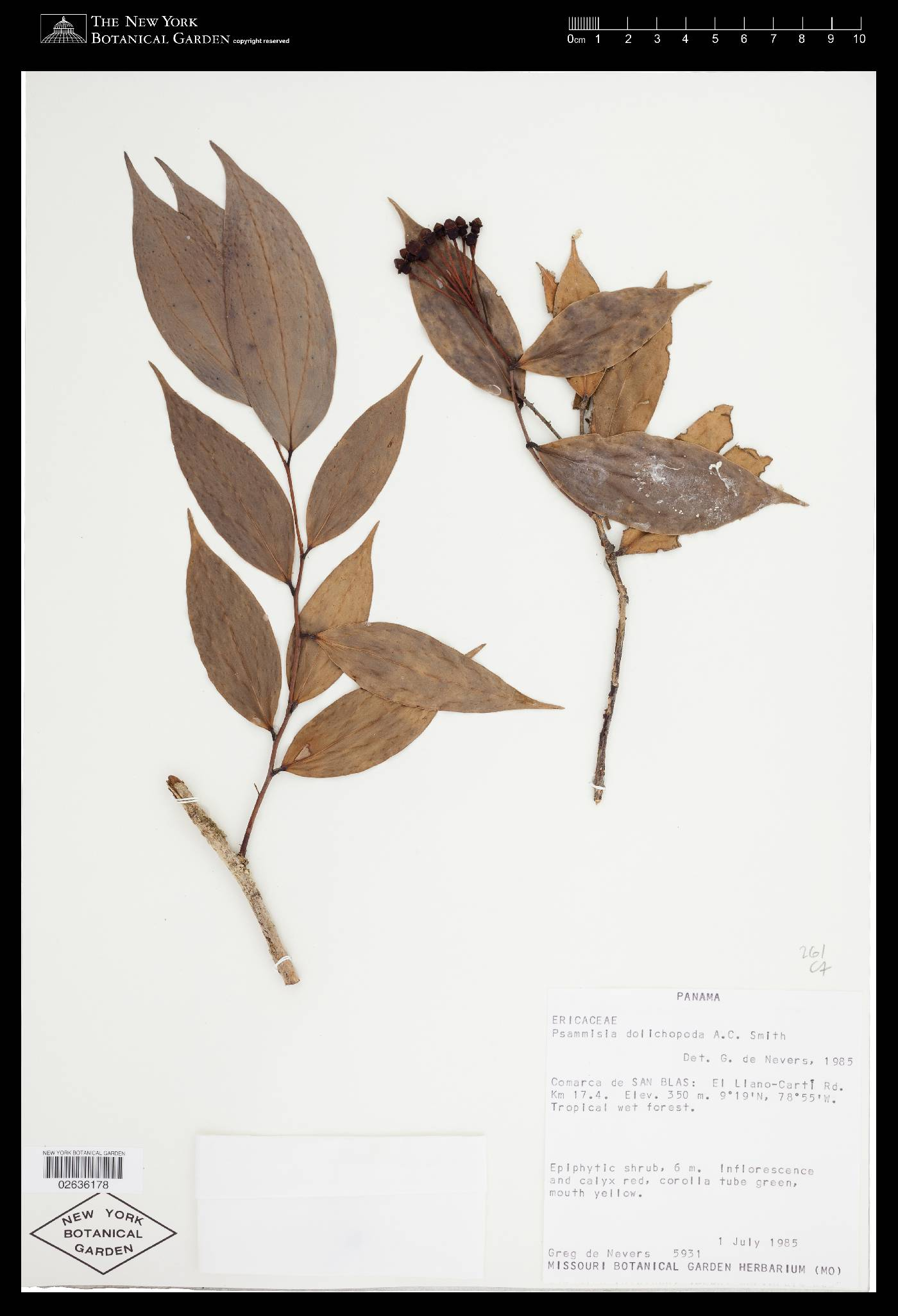 Psammisia dolichopoda image