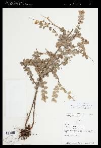 Sphyrospermum buxifolium image