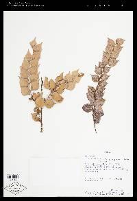 Themistoclesia horquetensis image