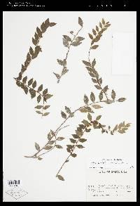 Themistoclesia pentandra image