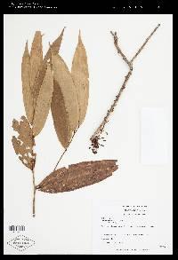 Thibaudia costaricensis image