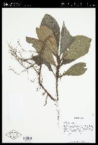 Besleria robusta image