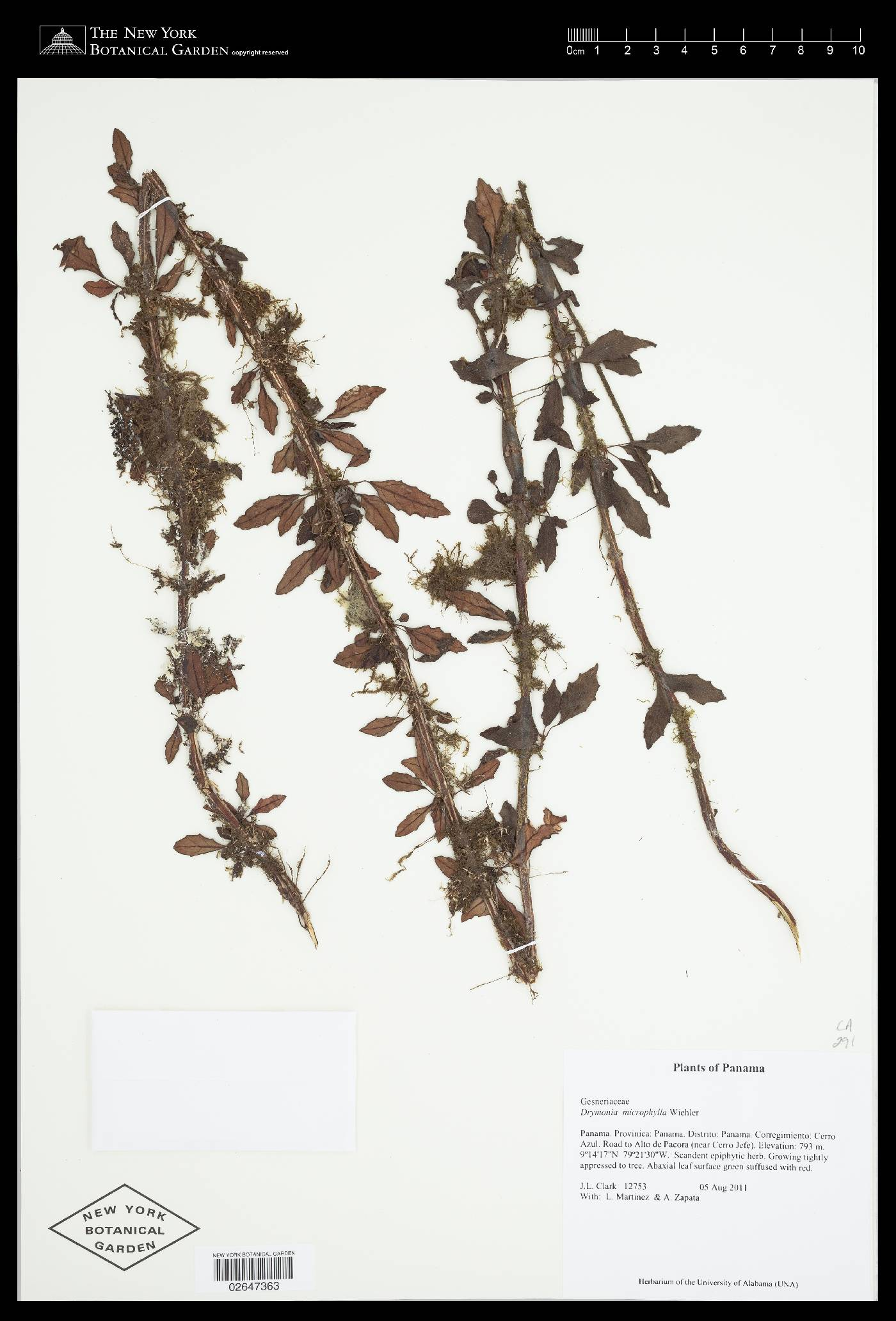 Drymonia microphylla image