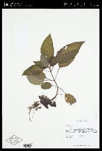 Kohleria tubiflora image