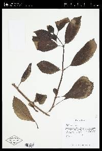Drymonia serrulata image