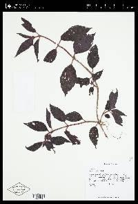 Drymonia pilifera image