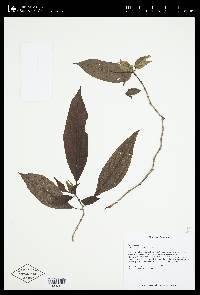 Drymonia warszewicziana image