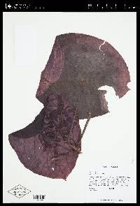 Drymonia turrialvae image