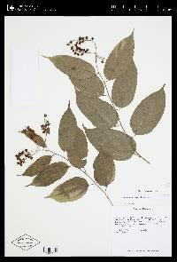 Lunania mexicana image