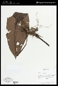 Paradrymonia macrophylla image