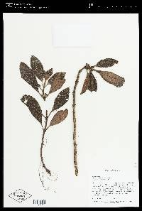 Rufodorsia congestiflora image