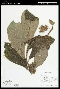 Besleria formicaria image