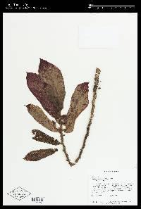 Columnea perpulchra image