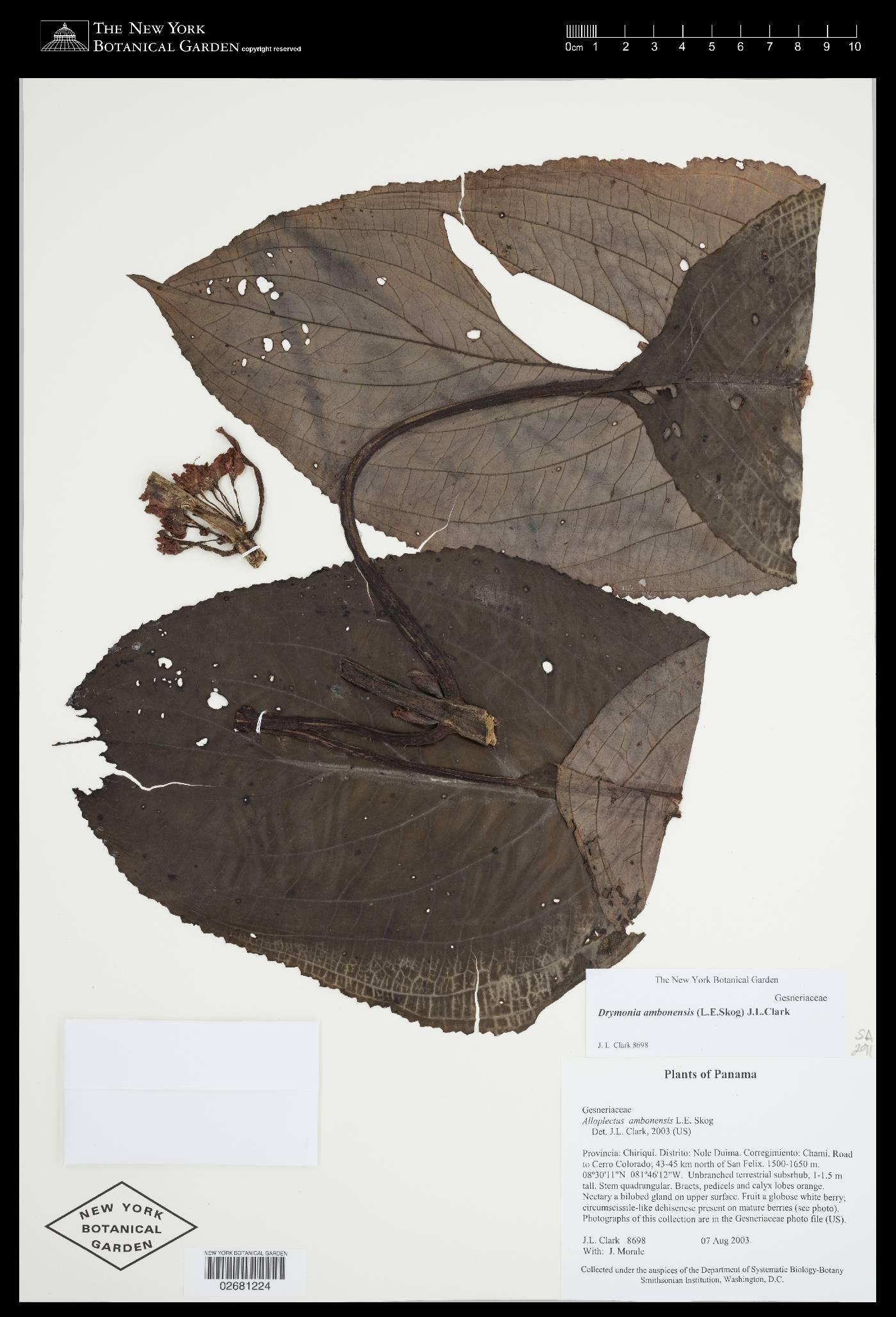 Drymonia ambonensis image