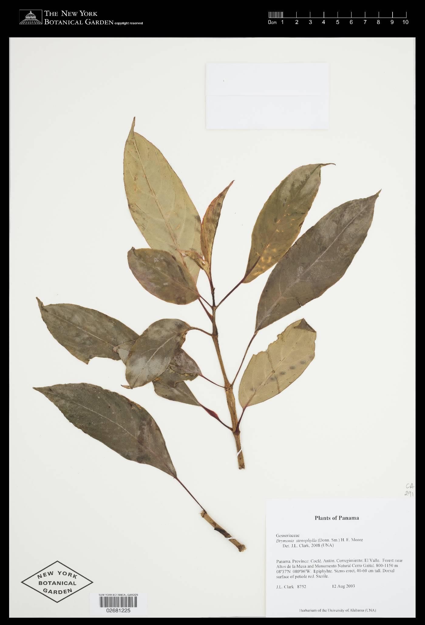 Drymonia stenophylla image