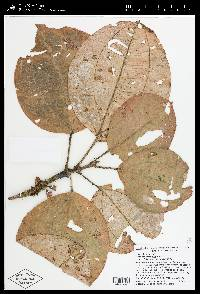 Blakea parasitica image