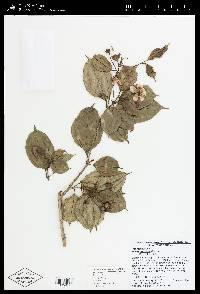 Blakea pauciflora image