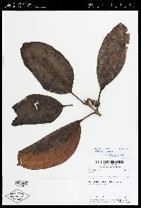 Blakea storkii image