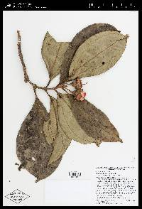 Blakea wilsoniorum image