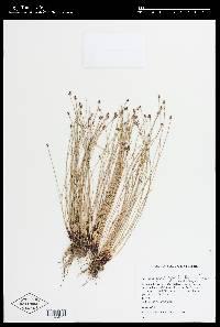 Image of Eleocharis geniculata