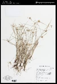 Rhynchospora radicans image