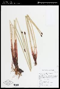 Image of Eleocharis elegans