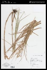 Image of Rhynchospora polyphylla