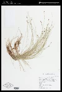Image of Eleocharis radicans