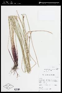 Image of Eleocharis montana