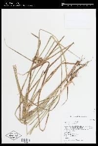Image of Cyperus surinamensis