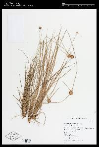 Image of Rhynchospora barbata
