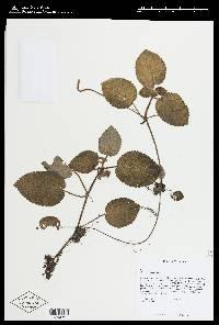 Episcia lilacina image